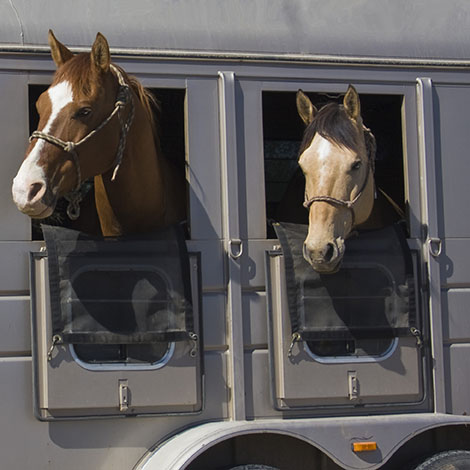 3 Horses Looking Out of a Horse Trailer